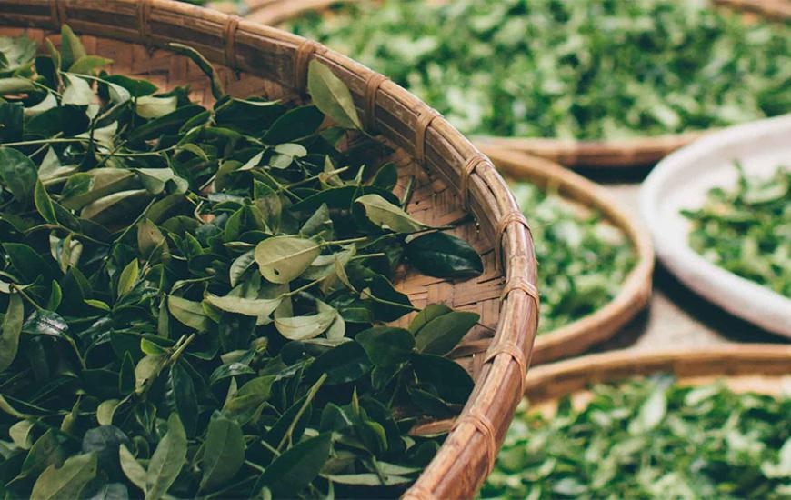 ダイエットや美容効果も高い緑茶を飲もう!効能と美味しい入れ方